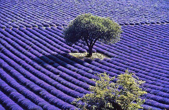 Huile essentielle de lavande de haute Provence ou essence de lavande de haute Provence