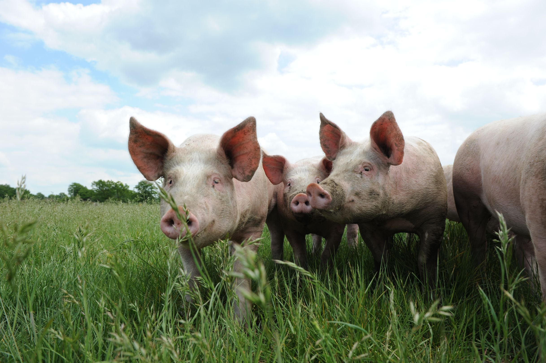 Porcs de Vendée