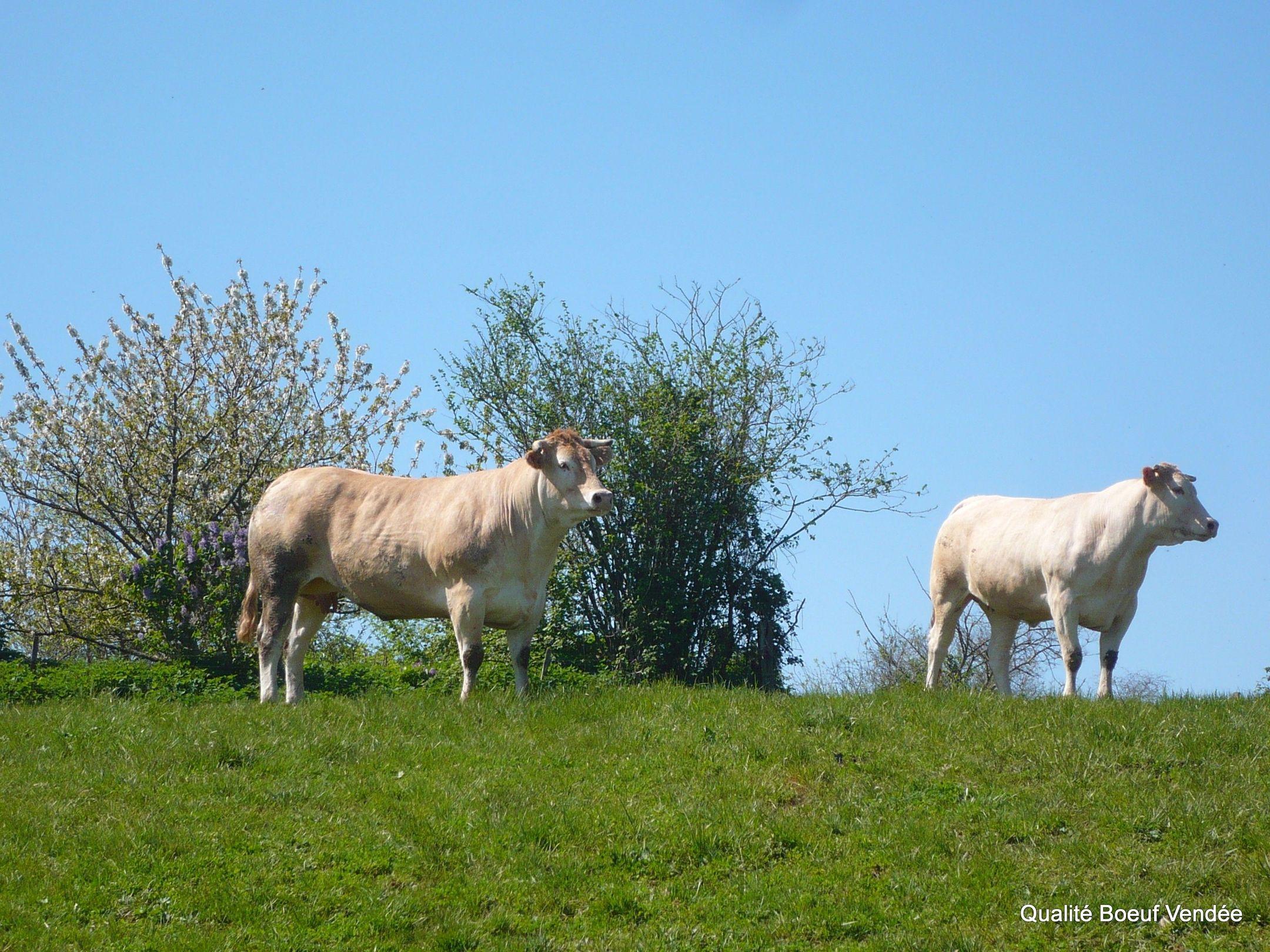 Bœuf de Vendée
