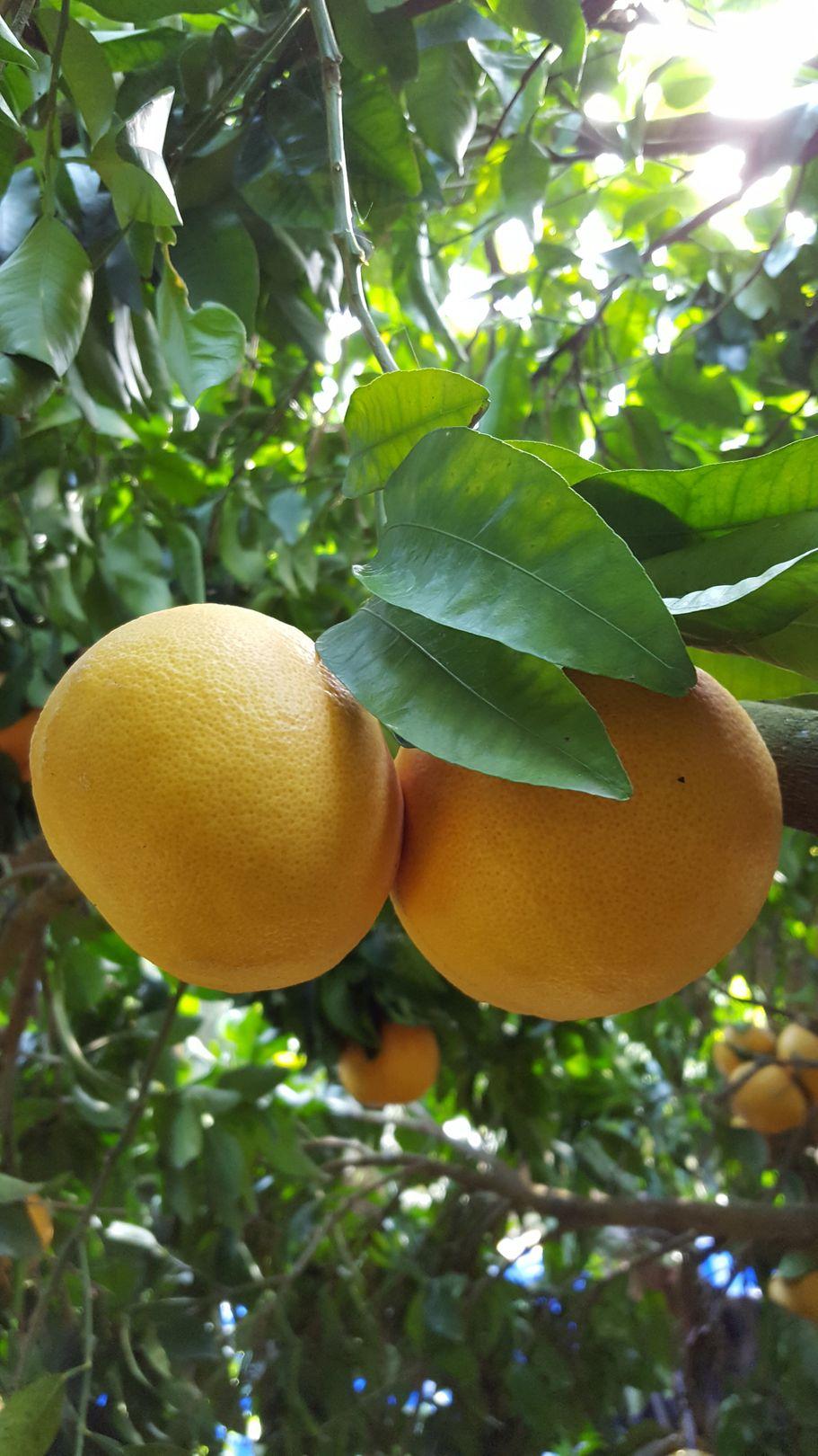 Pomelo de Corse